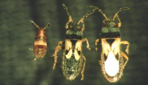 Figure 1. Southern chinch bug, Blissus insularis Barber. From left to right: nymph, short-wing, and long-wing adults
