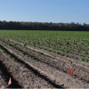 Figure 1. Overview of a commercial evaluation site of ?Elkton? and ?Atlantic? at a grower?s field in Hastings, Florida during spring, 2011. The flagged potato rows were planted with ?Elkton?; the other rows were planted with 'Atlantic.'