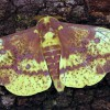 Figure 1. Imperial moth, Eacles imperialis (Drury).