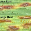 Figure 1. Brown and orange rust pustules (100×). Note the differences in color of spores.
