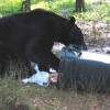 Figure 1. A Florida black bear searching for food. Prevent problems before they start with bear-resistant garbage cans.