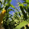 Closeup of corn