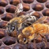 Figure 1. An Africanized honey bee (left) and a European honey bee on honeycomb. Despite color differences between these two individuals, mostly they can't be identified by eye.