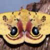 Figure 1. Male Io moth, Automeris io (Fabricius). Credit: Donald W. Hall, UF/IFAS