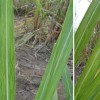 Figure 1. Leaves showing contrasting shades of green characteristic of sugarcane mosaic Credit: Philippe Rott, UF/IFAS