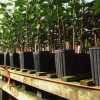 replacement trees in a nursery