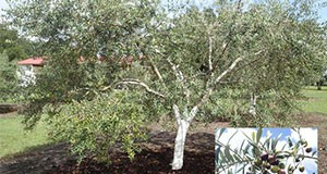 Figure 1. A seven-year-old olive tree (Olea europaea 'Mission') in Marion County, Florida, with inset picture of ripening fruit. (Note: the trunk of this tree has been painted white; this is a common practice for olive growers in the Mediterranean region.) Credit: Jennifer L. Gillett-Kaufman