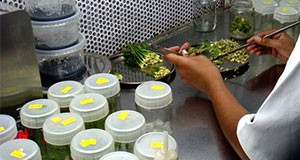 Figure 2. Plant tissue is placed into a sterile culture vessel. Credit: J. Chen, UF/IFAS