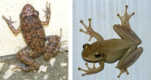 Florida's greenhouse frog and Florida's Cuban treefrog