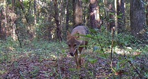 Figure 1. Coyotes are common throughout Florida. Credit: W. M. Giuliano