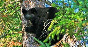 Figure 1.  The Florida black bear. Credit: www.myfwc.com