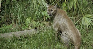 Figure 1. A Florida panther