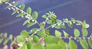 Figure 3. Long-stalked phyllanthus in flower.