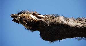Figure 1. Exposed African bee nest on a tree limb