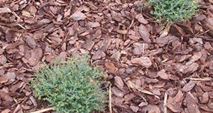 Coarse pine bark nuggets and other mulch materials can help to suppress weed germination and growth in landscape planting beds.