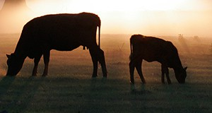 cow and calf in silhouette