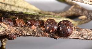 Figure 1.  Adult female black scales, Saissetia oleae (Olivier) on cultivated olive (Olea europaea L.). Credit: Lyle Buss, University of Florida