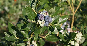 High-bush blueberries grown in Florida