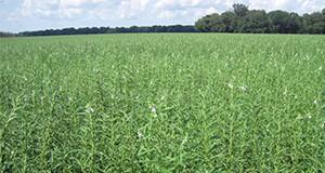 Sesame field in Jackson County grown in 2013.  Photo credit:  Doug Mayo