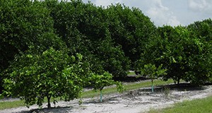 Scattered resets in a citrus grove