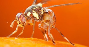 Figure 4. Adult female oriental fruit fly, Bactrocera dorsalis (Hendel), laying eggs in fruit. Credit: Scott Bauer, USDA