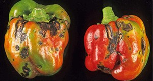 Figure 13. Symptomatic pepper fruit infected with Tomato Spotted Wilt Virus.