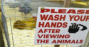 "A ""please wash your hands"" sign affixed to chicken cages at the poultry exhibit during the 4H Livestock show. Chickens, eggs, farm livestock, hygiene, safety."