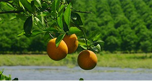oranges on the tree with orchard in background