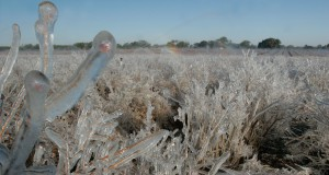 Private blueberry farm in Alachua County, frozen, frost, crops.