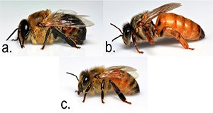 Honey bee castes: a. drone (male), b. queen (reproductive female), and c. worker (non-reproductive female).