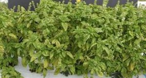 Symptoms of downy mildew on field-grown basil