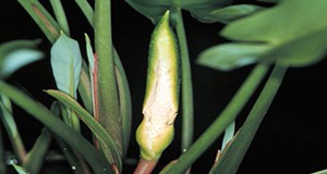 Spathe and spadix inflorescence of arrow arum.