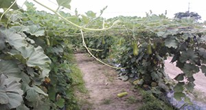 Long squash vines on trellis.
