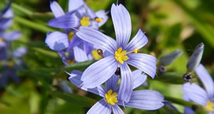 Blue-eyed grass inflorescence.