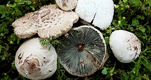 Figure 1. A collection of Chlorophyllum molybdites from the University of Florida campus in Gainesville showing characteristic features such as the scaly white cap and the greenish gills (underside of the cap).