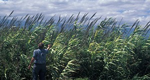 Arundo donax, or giant reed