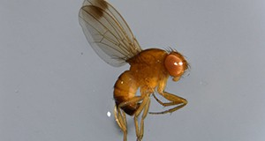 Male adult spotted wing drosophila