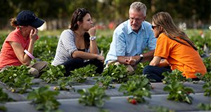 Drs. Clyde Fraisse (blue shirt) and Natalia Peres (orange shirt) speak with graduate students amongst rows of strawberries at the Gulf Coast Research and Education Center in Balm, Florida. Strawberry, fruit, agriculture, food production. UF/IFAS Photo by Tyler Jones.