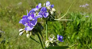 Spiderwort can be easily identified by its clusters of colorful flowers with three petals.