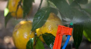 Lemon trees with micro irrigation system. Photo Credits: UF/IFAS Photo by Tyler Jones