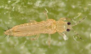 florida flower thrips