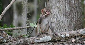 rhesus macaque monkey child