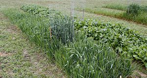 Figure 1. Small cool-season food plot planted in north Florida.