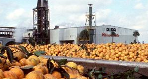 freshpicked oranges in foreground of packing facility