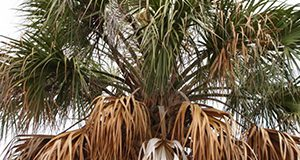 Figure 5. Discoloration of the lowest (older) leaves is an early symptom of TPPD in cabbage palm.