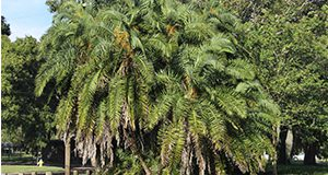 Senegal Date Palm