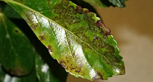 Figure 2. Typical bronzing of the upper leaf surface of Viburnum odoratissimum 'Awabuki' as a result of downy mildew. Credits: A.J. Palmateer, UF/IFAS