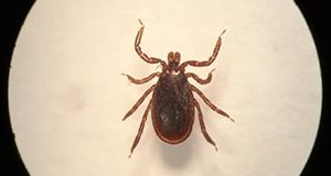 Male Ixodes scapularis tick