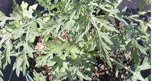 Figure 1. Ragweed parthenium growing in a pot. Note the upright growth habit and the basal rosette leaves. Credits: Annette Chandler, UF/IFAS