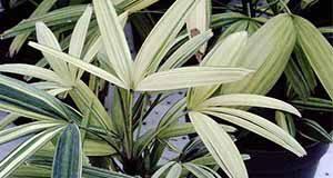 Figure 2. Variegated lady palm.